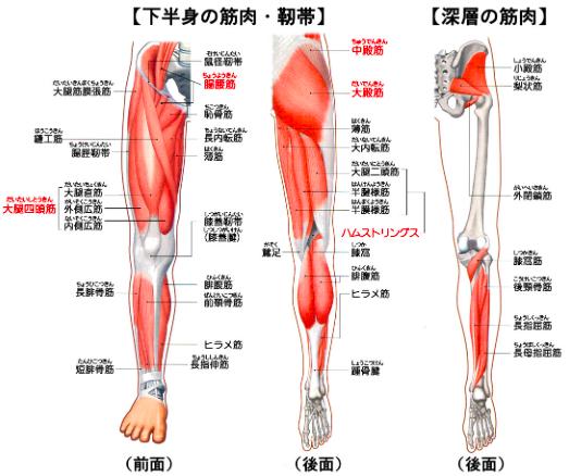 膝から先の筋肉